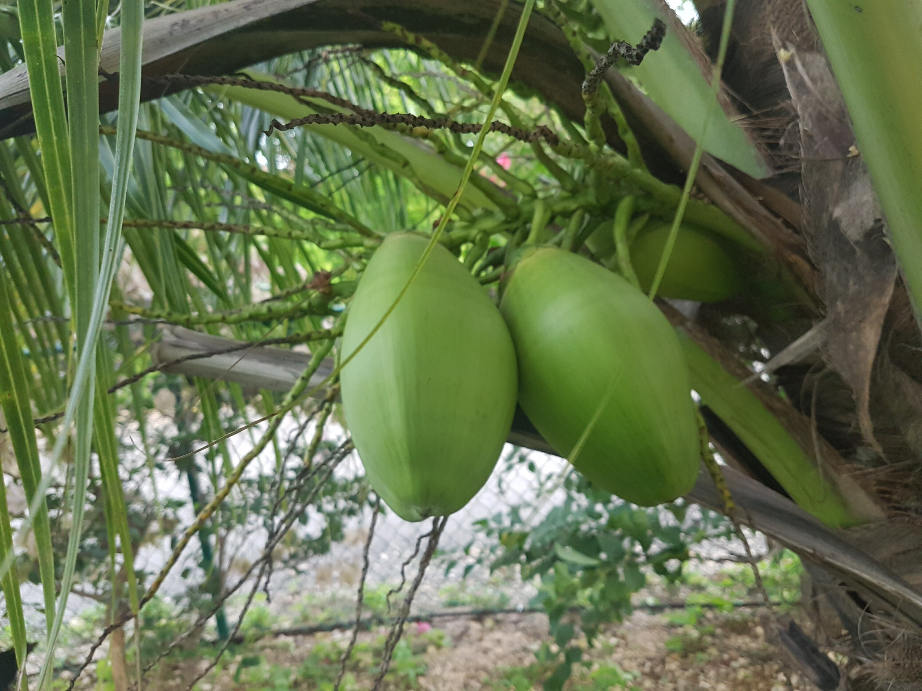Coconuts on a tree I grew from the seed